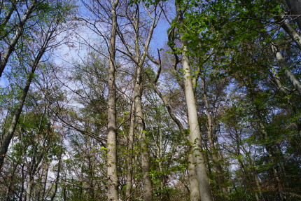 Dying beech forest in Hainich National Park (photo: P. Ibisch, 17 July)