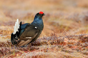 POLLUTION AND PRESERVATION: THE STORY OF THE BLACK GROUSE